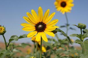 Wild Sunflower in Kansas with Sky