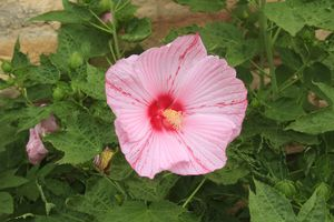 Pink Hibiscus closeup with leaves.
