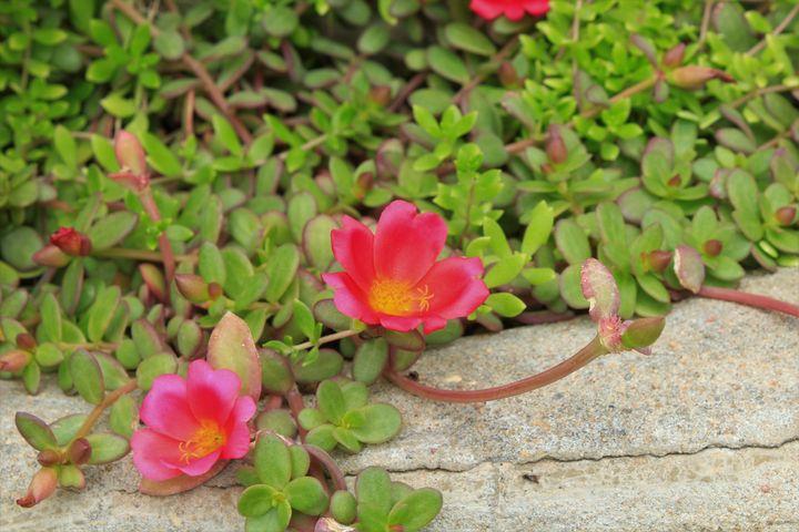 Pink flowers closeup with leaves. - Robert D Brozek