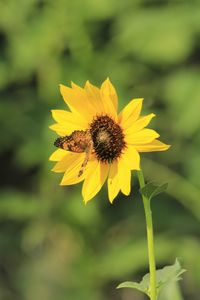 Wild Sunflower  with Butterfly