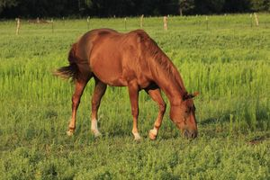 Horse in a green Pasture with fence.
