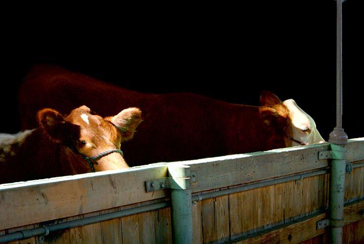 Best of show Cows - Deborah Zaragoza