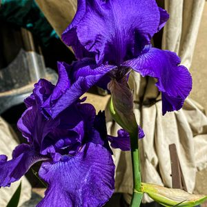 My Hybrid Irises