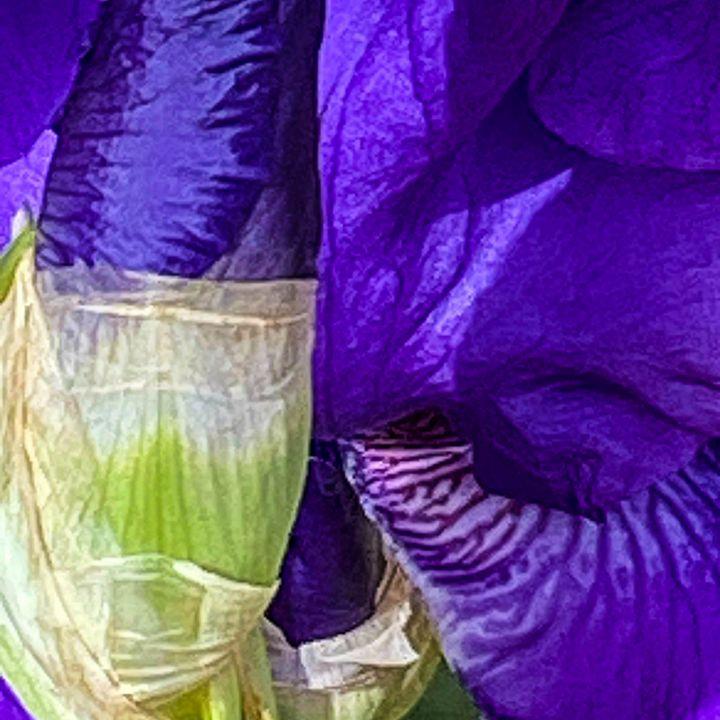 My Backyard Iris - Vickielynne