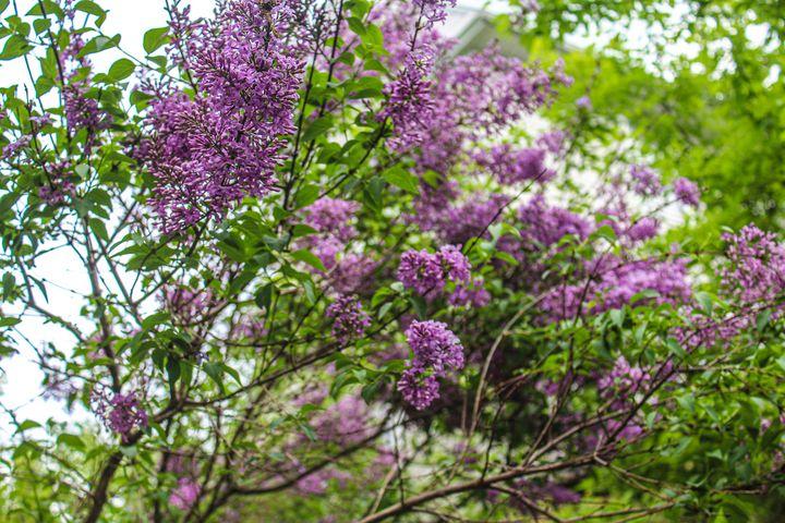 My Lilac Bush - Vickielynne