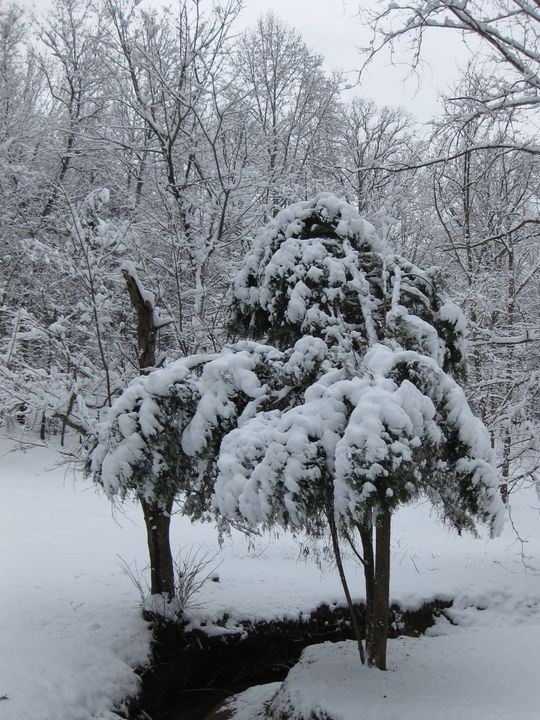 Snowy Cedar - Country Life by Heath Forbes