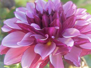 Purple Dhalia