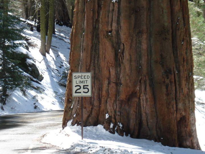 Sequoia tree - David Wood