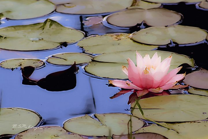Water Lillies - Saco River Art & Photography