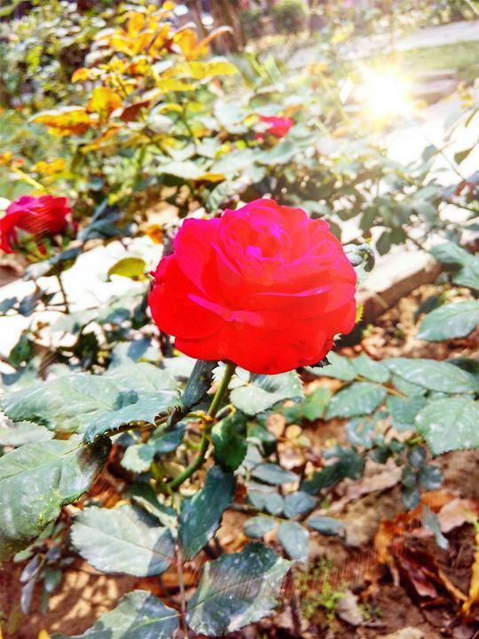 Rose - creative fusion