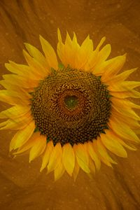 Summertime Sunflower