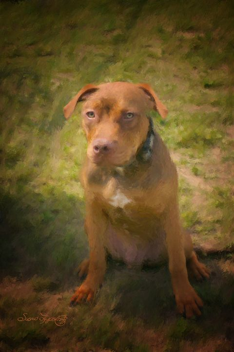 PITBULL PUPPY - SHAYNA PHOTOGRAPHY