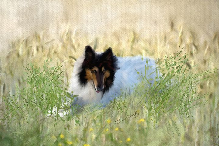 WHITE COLLIE - SHAYNA PHOTOGRAPHY