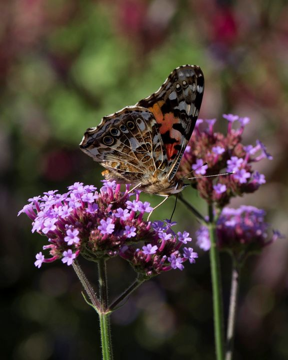COLORFUL BUTTERFLY - SHAYNA PHOTOGRAPHY