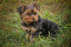 TEACUP YORKIE PUPPY - SHAYNA PHOTOGRAPHY