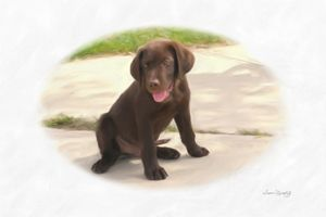 CHOCOLATE LAB PUPPY - SHAYNA PHOTOGRAPHY