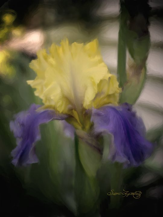 BLUE AND YELLOW IRIS - SHAYNA PHOTOGRAPHY