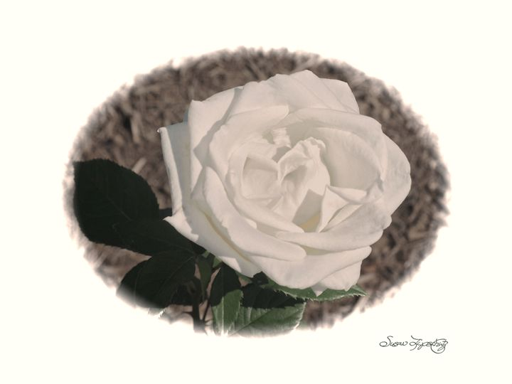 PRISTINE WHITE ROSE - SHAYNA PHOTOGRAPHY