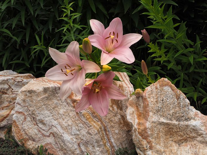 PINK LILIES - SHAYNA PHOTOGRAPHY