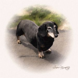 LOVABLE DACHSHUND - SHAYNA PHOTOGRAPHY