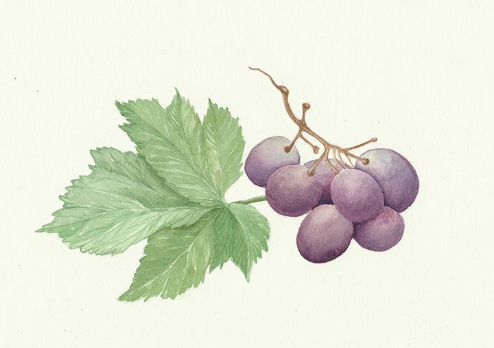 grapes - natalija's gallery