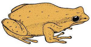 Desert Tree Frog 2