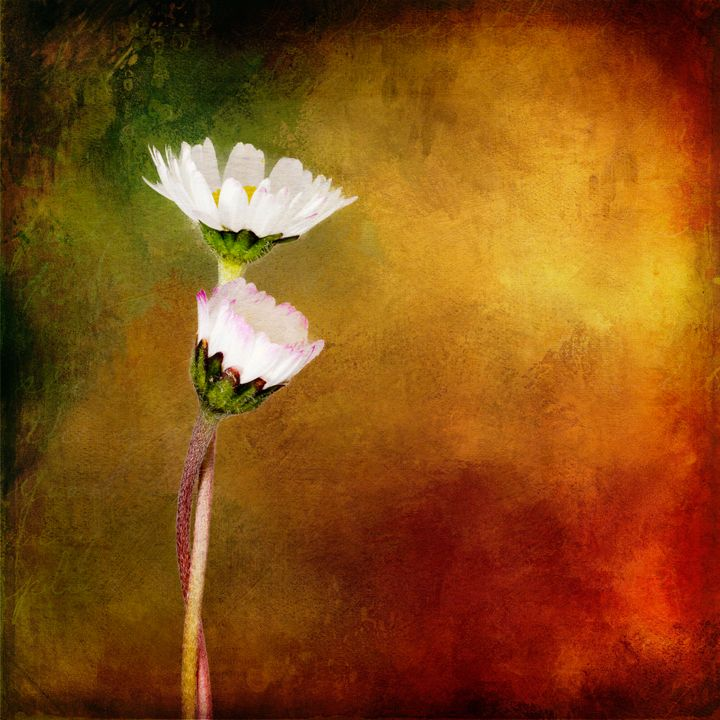 Togetherness. Intertwined daisies. - Judith Flacke Still Life