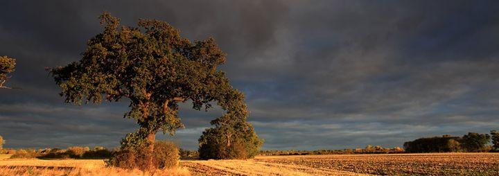 Sunrise over Oak Tree Fenland - Dave Porter Landscape Photography