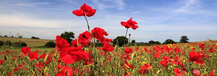 Fields of common Poppy flowers - Dave Porter Landscape Photography