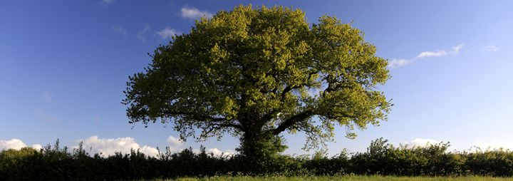 English Oak tree in Spring - Dave Porter Landscape Photography