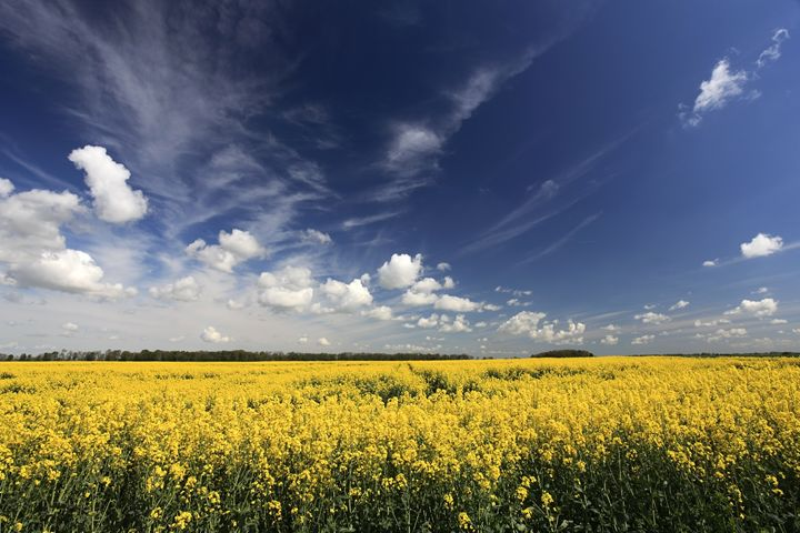 Summer Oil seed rape fields Fenland - Dave Porter Landscape Photography