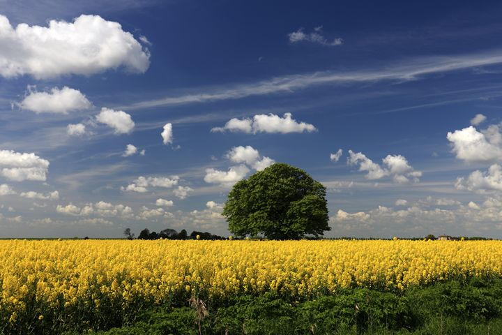 Summer Oil seed rape fields Fenland - Dave Porter Landscape Photography