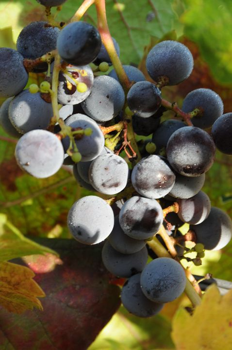 Grapes - Photograph, Prints, and Digital Art, Paintings