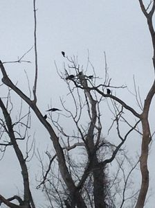 Black Birds in the Trees - Natural Wonders