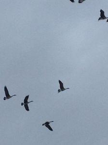 Sky high Geese