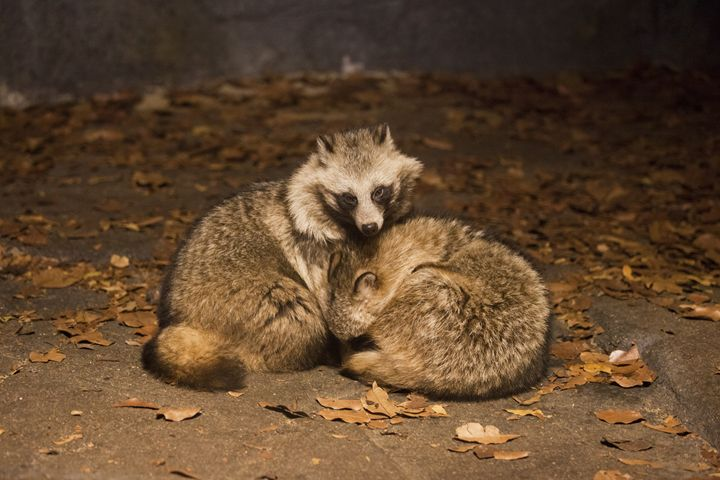 Raccoon Dogs - Through My Eyes