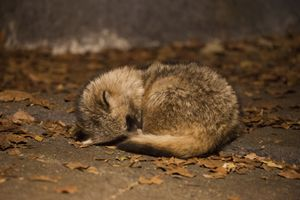 Sleeping Raccoon Dog