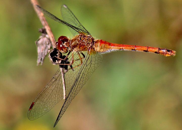 red dragonfly - Tiffany Jones