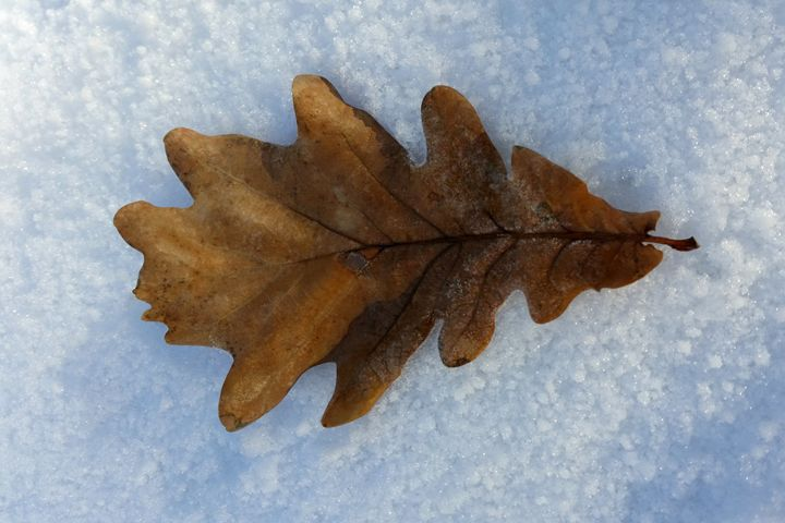 one leaf on snow - feiermar