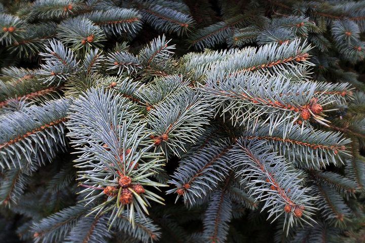 fir tree buds - feiermar