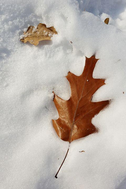 an oak leaf on snow - feiermar