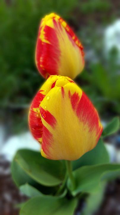 yellow red tulips - feiermar