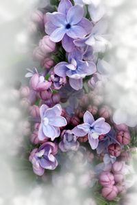 Lilac blooming - feiermar