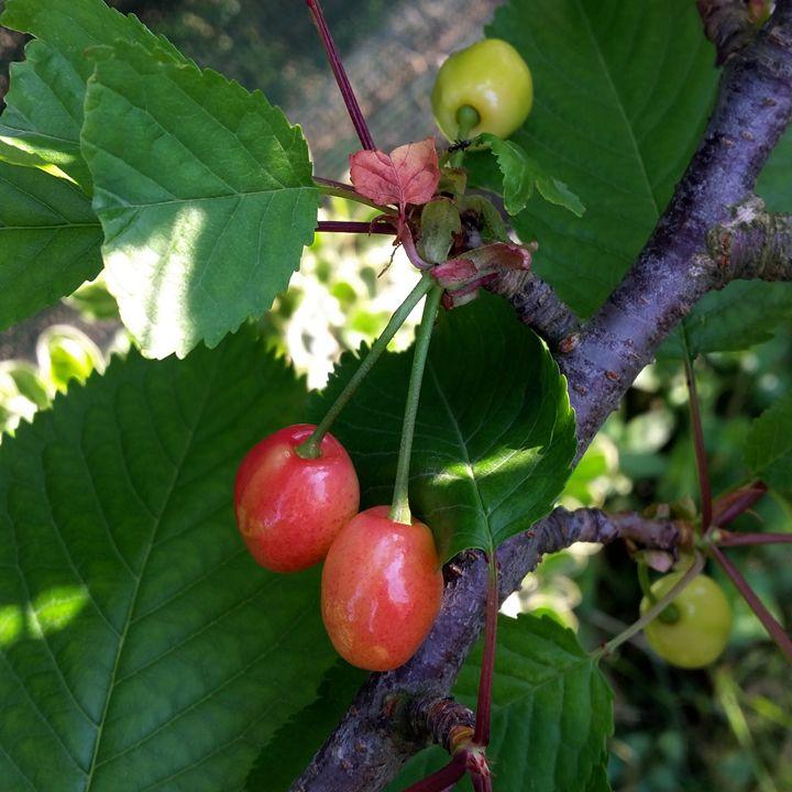 Cherries turning red - feiermar