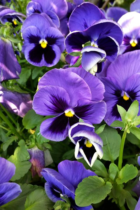 purple pansies - feiermar