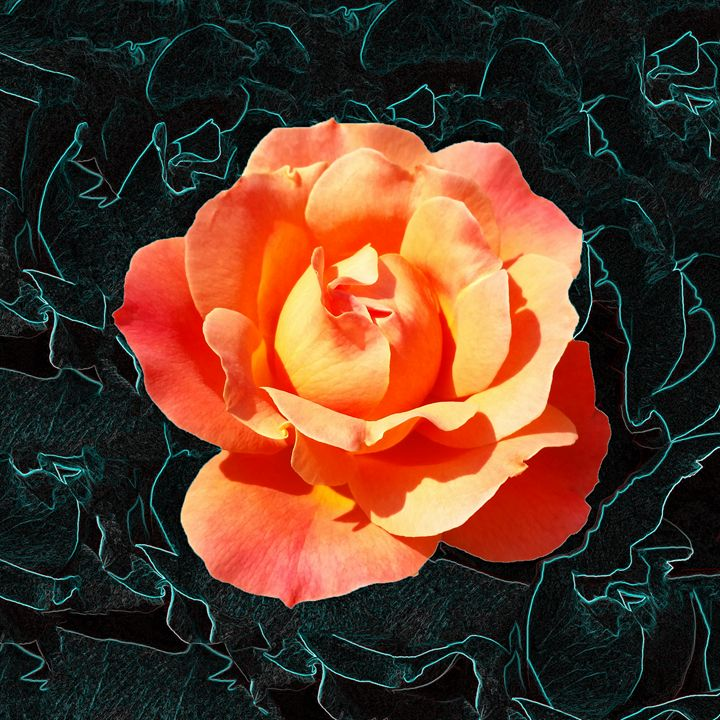 Bright orange rose - feiermar