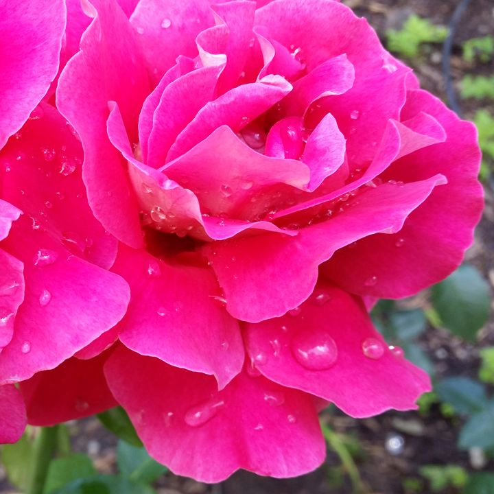 Rain on petals - feiermar