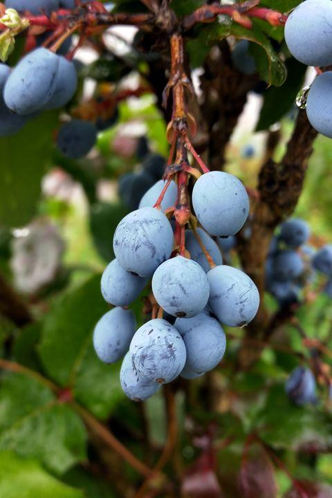 Blackthorn fruit - feiermar