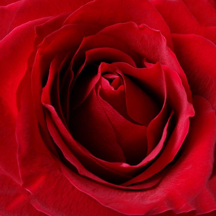 deep red rose - feiermar