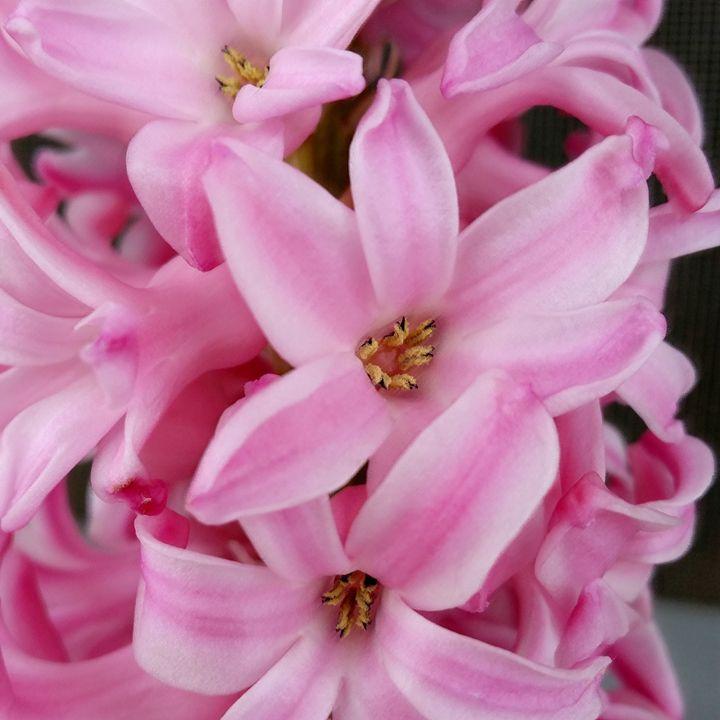 pink hyacinth flower - feiermar